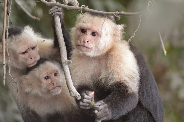 Palo Verde: White face Monkeys