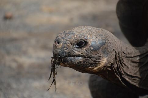 Tortoise Breeding Center, Isabela Island, Galapagos