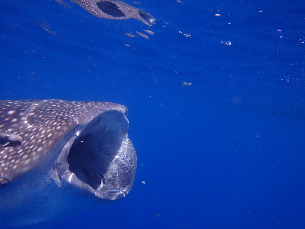 A Whale Shark sucking up plankton, Cancun, Mexico