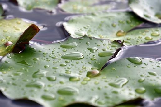 Close-up of lilypads from Hurawahli Resort