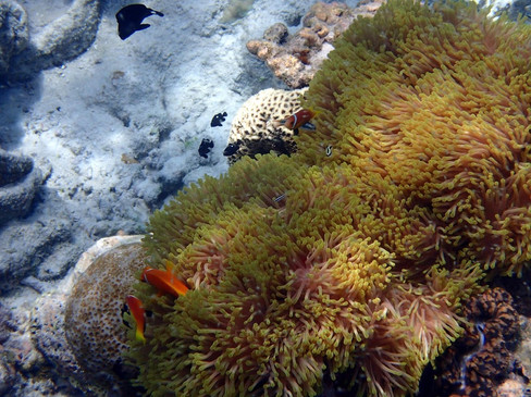 Snorkelling in the Maldives: Clown Fish