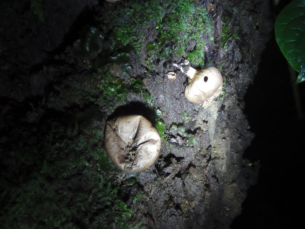 Tree Mushrooms, Monteverde Cloud Forest, Costa Rica