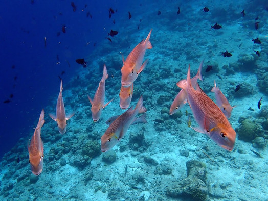 Snorkelling in the Maldives: Fish