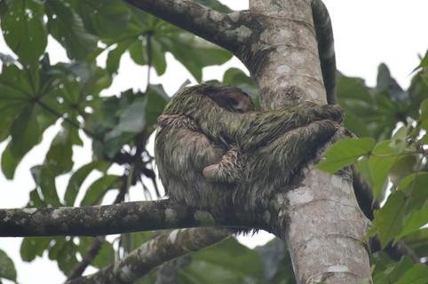Heliconias Rainforest: Sloth