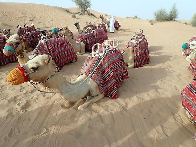 Camels in Dubai Desert