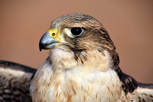 Thunder, Peregrine Falcon