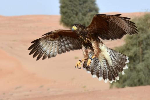 Tomahawk, a harris hawk