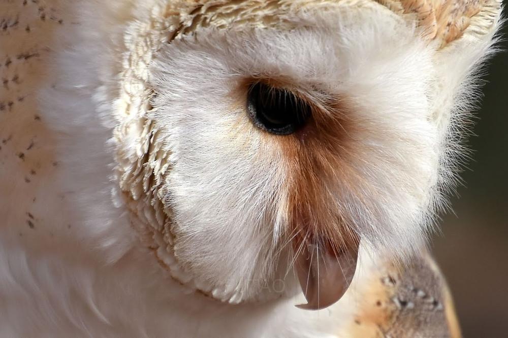 Dory, Barn Owl