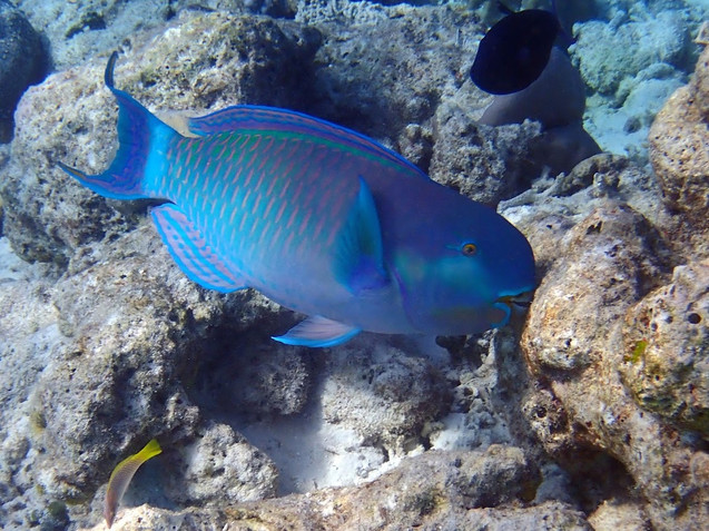 Snorkelling in the Maldives: Parrot Fish