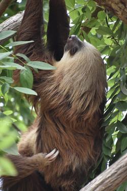 Diamante Eco Park: Sloth