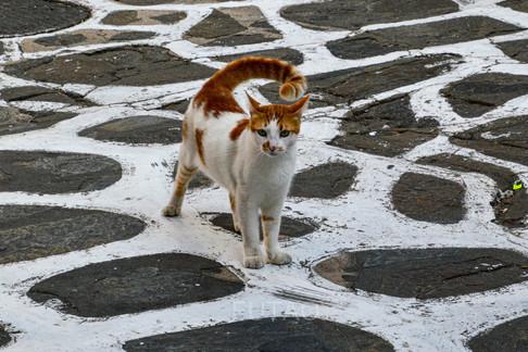Kitty on the streets of Mykonos, Greece