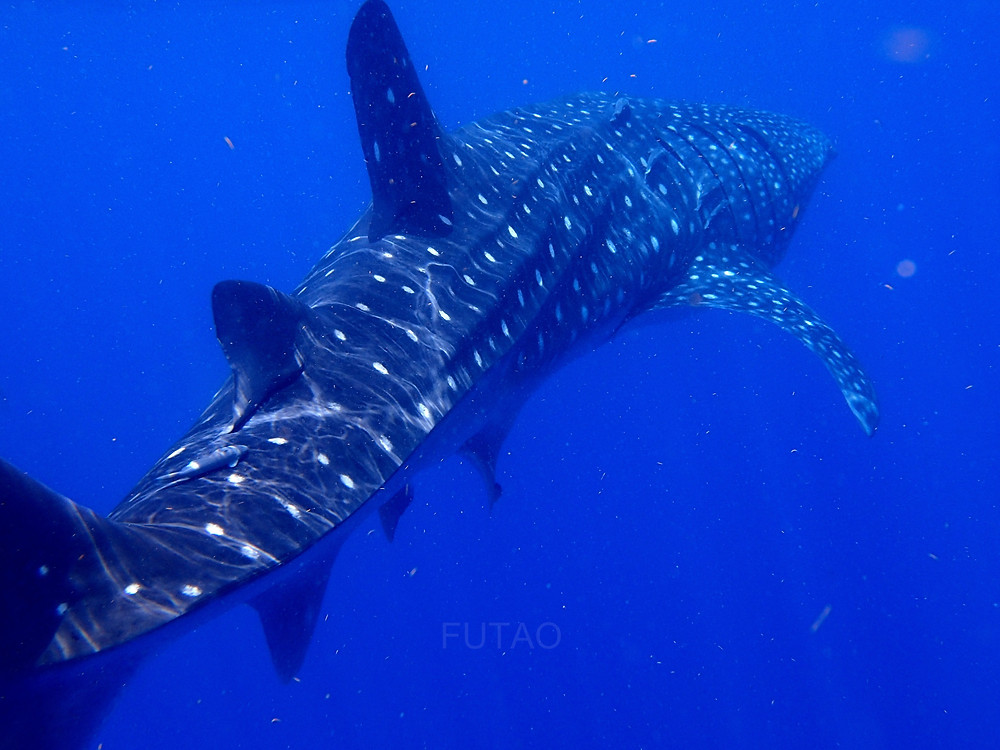 Pictures cannot show the massive size of the Whale Shark