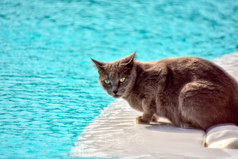 Kitty drinking from the pool at Rocabella Mykonos Resort, Mykonos, Greece