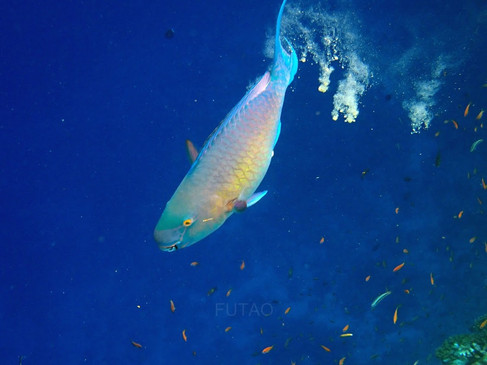 Snorkelling in the Maldives: Parrotfish