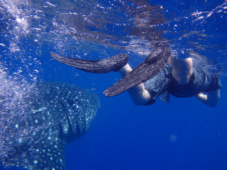 J chasing after a Whale Shark