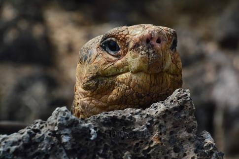 Giant Tortoise, Charles Darwin Station, Baltra Island, Galapagos