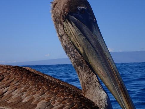 Pelican, Galapagos Islands