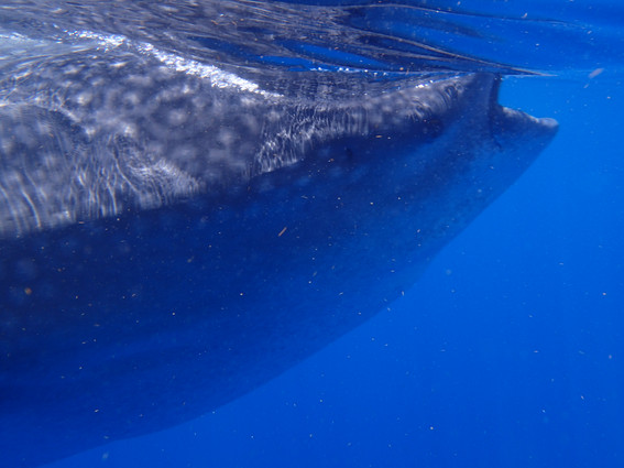 Whale Shark filter feeding at waters surface