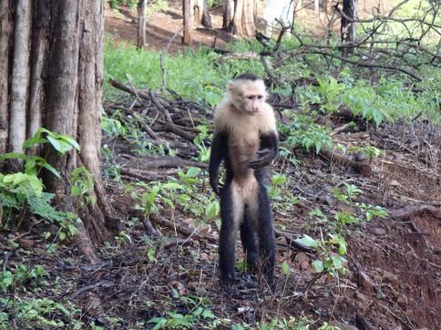 White Faced Monkey near Monkey Bar, Guanacaste
