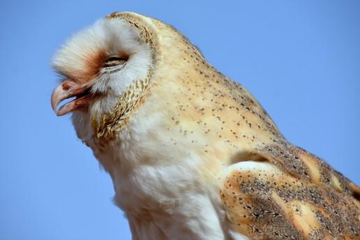 Dory, a barn owl