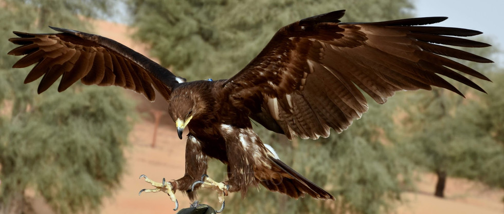 Khamiah, a greater spotted eagle