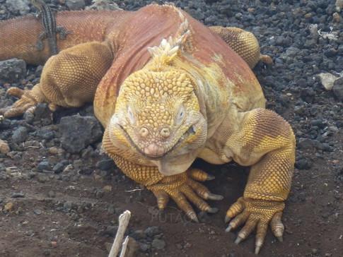 Yellow Iguana, Charles Darwin Station, Baltra Island, Galapagos