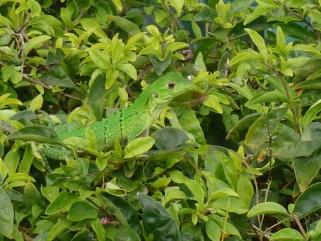 Riu Guanacaste: gekko