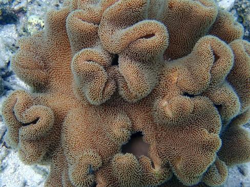 Snorkelling in the Maldives: Coral