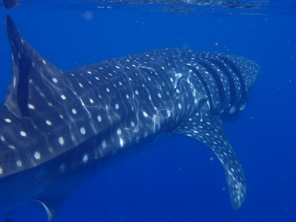 Beautiful Whale Shark swimming away