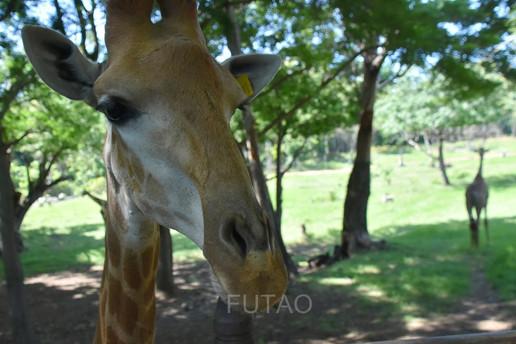 Giraffe at Casela Wildlife Park, Mauritius