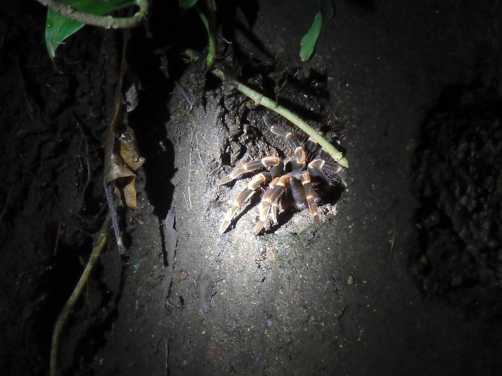 A Tarantula crawls out of a tree, Monteverde Cloud Forest, Costa Rica