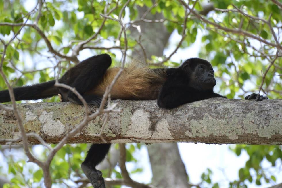Matapalo Beach, Guanacaste: Howler Monkey