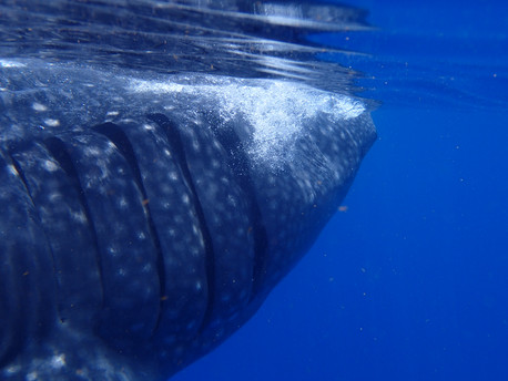 Whale Shark disturbing the surface water prior to filter feeding