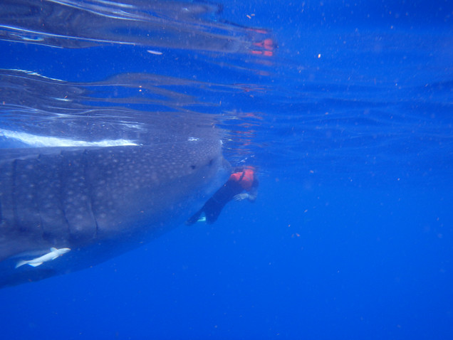 J attempting to swim out of the path of a Whale Shark