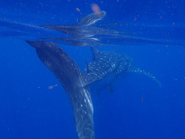 Beautiful Whale Shark swimming away with tail detail