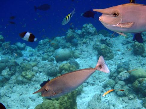 Snorkelling in the Maldives: Unicorn Fish