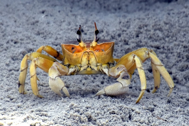 Dream Island: Crab