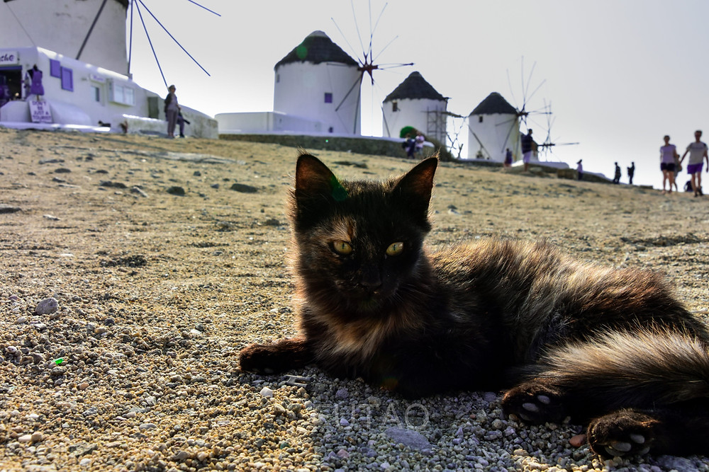 Greek Cat at the base of the Mykonos Windmills