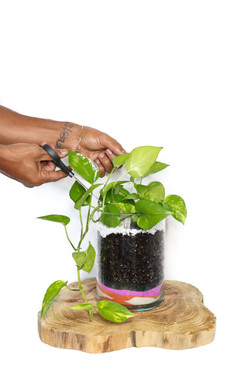 Pothos Plant with hands
