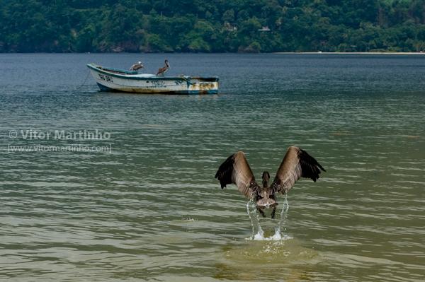 """""""Vôos de pelicano"""""""
