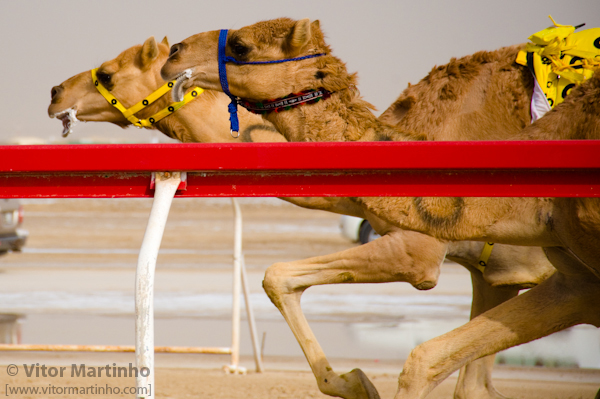"""Camel Race: Head of race"""