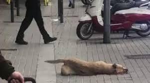 La perrita Sota agonizzante per la strada a Barcellona