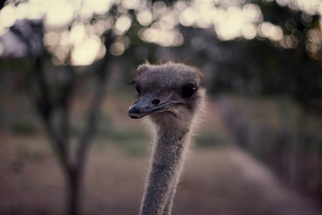 Ostrich brazil.jpg