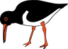 Oystercatcher Bird