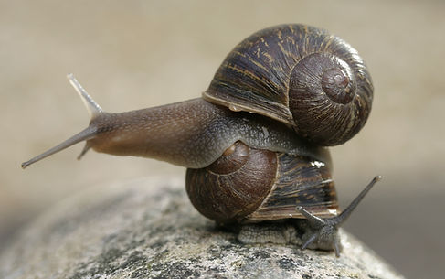 Jeremy the Lefty Snail.JPG