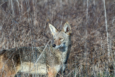 Coyote looking to the side by Liz.jpg