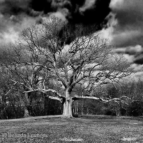 Oak Tree -Glastonbury, CT