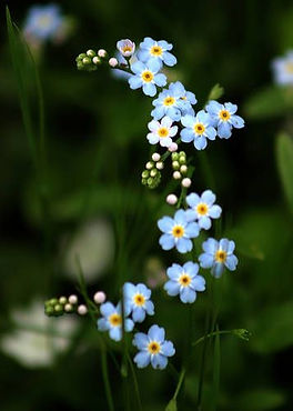 Forget-Me-Not Flowers- Never Forget..