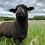 Thumbnail: Canvas Print - Lambs