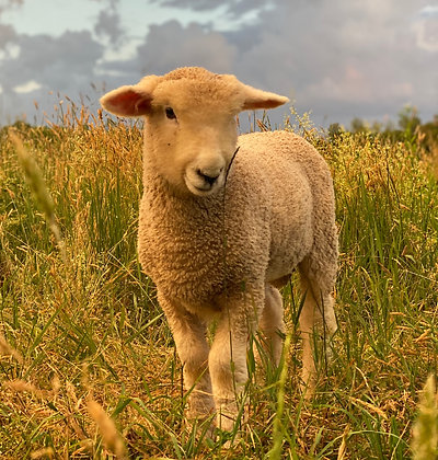 Canvas Print - Lambs